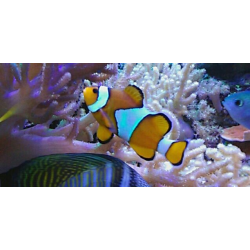 Amphiprion Ocellaris (Pez Payaso)