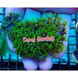 Briareum Verde Fluor