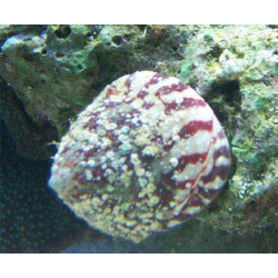 trochus sp red
