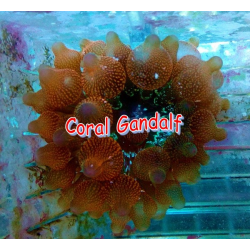 Entacmaea quadricolor- talla S