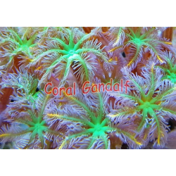 Clavularia papaya x polipo