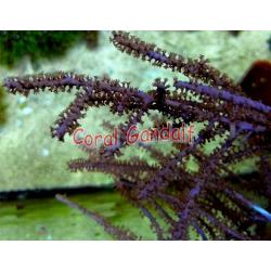 Gorgonia Eunicea sp-frag