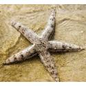Estrellas, pepinos y erizos